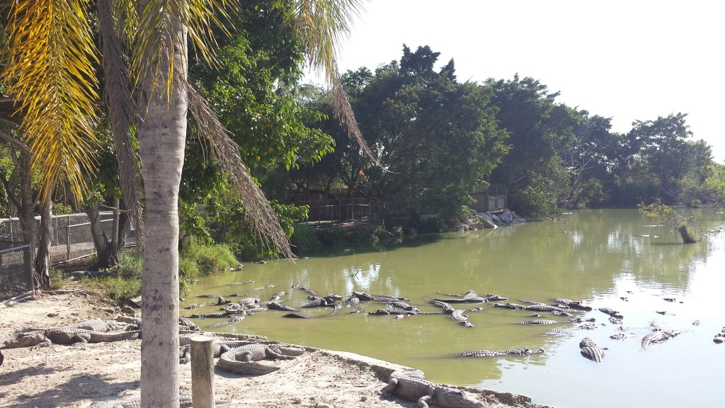 Aligator farm